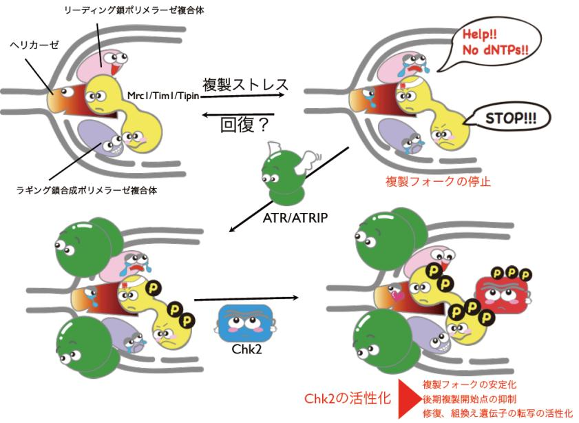 dna replication research paper A research group from the university ofdna replication essay writingincrease in the number of cells with 2c-dna content attests that over expression of wild type.